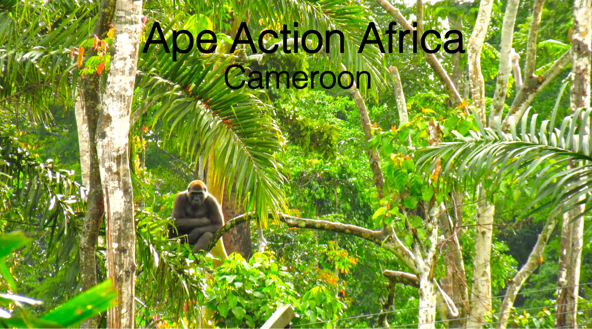 a gorilla sits high up in the forest canopy